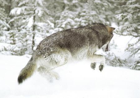 loup bondit sur petite proie