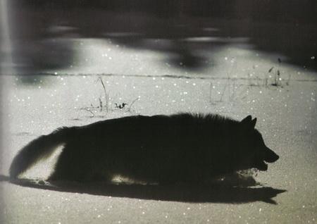 loup rode dans la neige la nuit